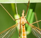 Brown tipula on grass Royalty Free Stock Photo