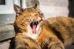 A brown tired lazy cat is laying in the sun with open mouth stock images