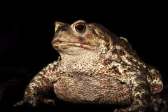Brown toad Royalty Free Stock Image