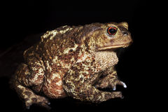 Brown toad Royalty Free Stock Images