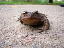 Brown toad Royalty Free Stock Photos