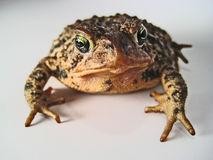 Brown Toad. A closeup macro of a brown toad, with its front feet clearly visible Stock Photos