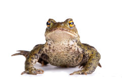Brown toad. Common brown toad (bufo bufo) shot over white Royalty Free Stock Image