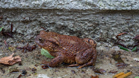 Brown Toad enjoying the wet. Common Brown Toad enjoying the wet ground Royalty Free Stock Photo