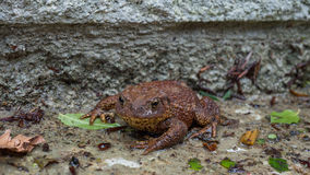 Brown Toad enjoying the wet. Common Brown Toad enjoying the wet ground Stock Photos