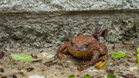 Brown Toad enjoying the wet. Common Brown Toad enjoying the wet ground Royalty Free Stock Images