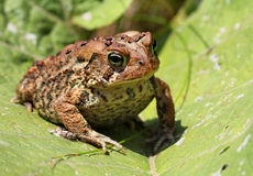 Brown toad / frog on a green leaf Stock Photography