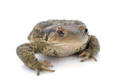 Brown toad Stock Image