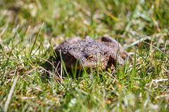 Brown toad in the garden Royalty Free Stock Images