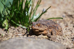 Brown toad in the garden Royalty Free Stock Photo