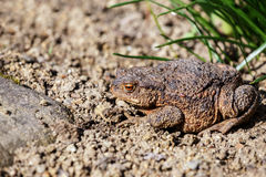 Brown toad in the garden Stock Photography