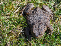 Brown toad in the garden Stock Photos