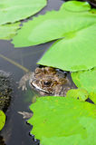 Brown toad in a lily pond Stock Images