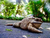 Brown Toad Macro in its natural environment. Stock Image
