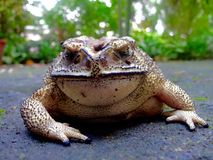 Brown Toad Macro in its natural environment. Royalty Free Stock Photo