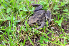 The brown Toad in Nature Royalty Free Stock Photo