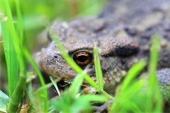 The brown Toad in Nature Stock Photo