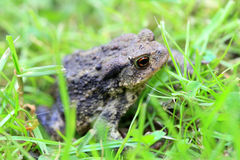 The brown Toad in Nature Royalty Free Stock Image