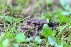 The brown Toad in Nature Stock Image