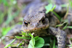 The brown Toad in Nature Stock Photography
