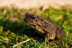 Brown toad sitting on the grass Royalty Free Stock Photos