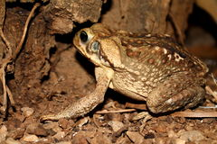 Brown toad from Venezuela. Tropical toad. Brown toad from Venezuela Royalty Free Stock Photo