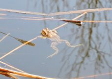 Brown toad in water, Lithuania Stock Photo