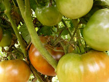 Brown tomatoes Royalty Free Stock Photography