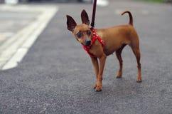 Brown Toy Terrier Foto de archivo libre de regalías