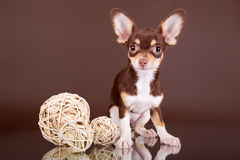 Brown Toy Terrier. On a Brown background and a mirror Stock Photo