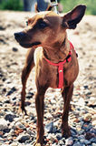 Brown toy terrier on the beach. Brown long toy terrier on the pebble beach Royalty Free Stock Photography