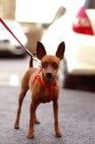 Brown Toy Terrier en el paseo Imágenes de archivo libres de regalías