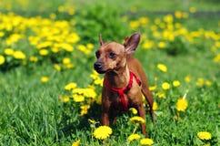 Brown Toy Terrier largo en flores Imagen de archivo