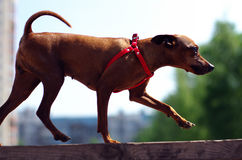 Brown toy terrier makes exercise. Brown Toy Terrier runs on the board outside Royalty Free Stock Images