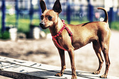 Brown Toy Terrier outside. Brown Toy Terrier on the training range outside Royalty Free Stock Image