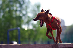 Brown toy terrier yawns. Standing on the board outside Royalty Free Stock Photo