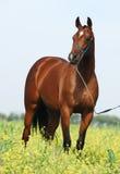 Brown trakehner Pferd Lizenzfreies Stockbild