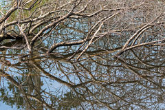 Brown tree branches submerging in water showing mirror reflectio Stock Photos
