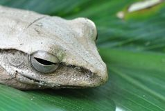 A Brown Tree Frog Royalty Free Stock Image