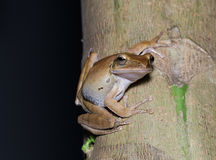 Brown tree frog Stock Photos
