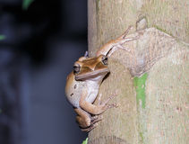 Brown tree frog Stock Image