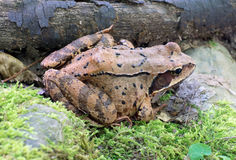 Brown tree frog. Close up of brown tree frog Stock Image