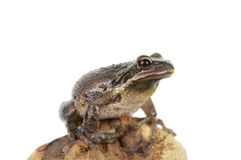 Brown tree frog Royalty Free Stock Photo