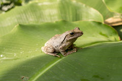 Brown Tree frog Stock Photography
