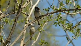 Sparrows sit on a tree branch. Brown tree with green leaves.Gray sparrows are on the background of the blue sky stock footage