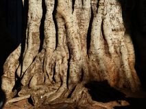 Brown Tree Root Royalty Free Stock Photos