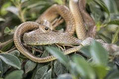 Brown tree snake in a snake farm in southern Vietnam Stock Photos
