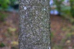 Brown tree trunk of zelkova serrata japanese zelkova Stock Image