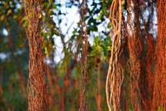 Brown tree vines in the rainforest. Brown tree vines and plants in the rainforest Royalty Free Stock Photos