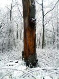Brown tree in winter snow. A tree in the forest standing out in the snow Stock Image